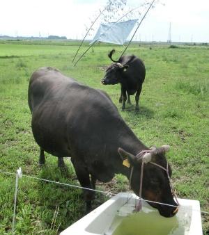 平沢氏が提案する解決策の1つが放牧