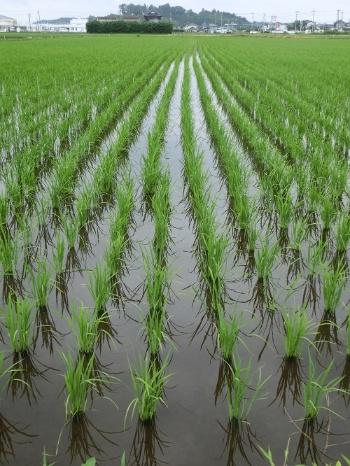水田を耕作放棄地にしないのが今後の課題