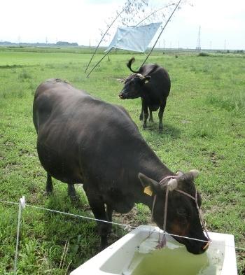 放牧は効率的な農地利用の1つ(茨城県常総市)