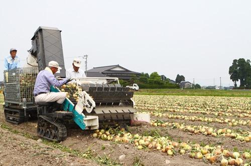 タマネギの収穫風景(富山県砺波市)