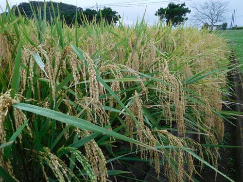 飼料米は多収の専用品種の開発が進んでいる(つくばみらい市の農業・食品産業技術総合研究機構の試験圃場)