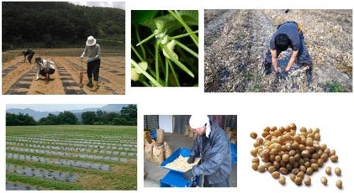 製造にかかわる者に限らず、「行きたい」と手を挙げた社員も、白小豆の種まきと刈り取りに参加した。(写真提供:虎屋)