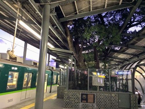 萱島駅では、地上からクスノキの大木がホームを貫いて生えている。