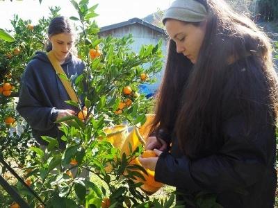 地元農家と連携した農家民泊も外国人に好評だ。宿泊するだけでなく、みかんの収穫や梅のパック詰めなど必ず農作業を体験してもらう
