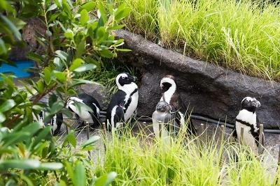 草むら越しにペンギンが見られるユニークな展示となっている