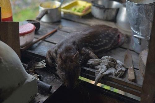 罠にかかったパカ。内臓は胆のうを除いて捨てる。胆のうは、干すと毒蛇に噛まれた時の薬になるという (c)Eduard MAKINO