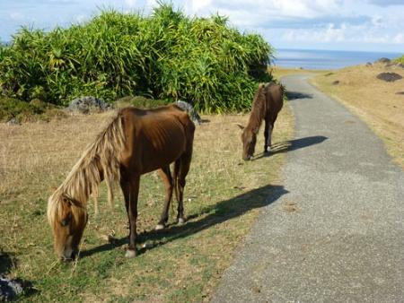 東崎周辺の与那国馬