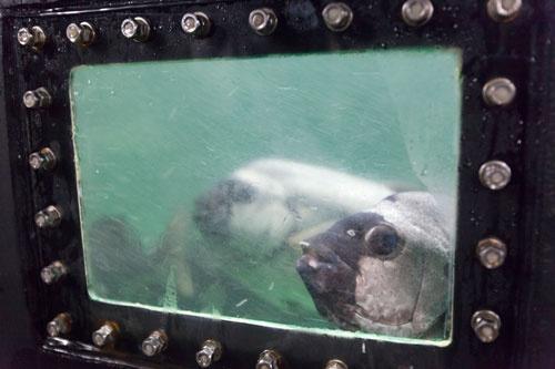 イシダイも育てられている。卵を産ませ、孵化直後のイシダイをマグロの餌として生後12日頃から与え始めている。
