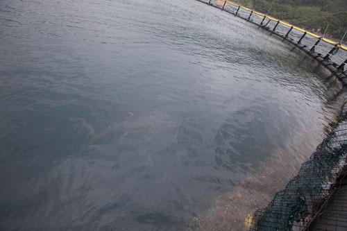 海上のいけす内で泳ぐまぐろ。餌は1日2回。写真は台風直後で水が濁っていて分かりにくいが、餌の時間になると海面に浮いてくる。この頃はまだ泳ぐスピードを上手にコントロールできずに網にぶつかって衝突死する個体も少なくない。死骸を放置するとサメがやってきて網を食いちぎるため、ダイバーが海底に潜って網の底を点検する。餌の食べ残しも掃除し、環境面にも配慮する。