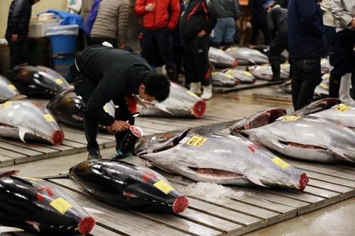 太平洋クロマグロは絶滅危惧種に指定されるほど資源量が減っている(写真:つのだよしお/アフロ)