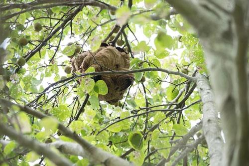 木の高い場所にできた巣(長崎県対馬市) (撮影:林田大輔、以下同)