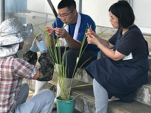 新潟県農業総合研究所では、専用の圃場で多種多様な稲を栽培している。地道な手作業で何百通りもの交配を試し、新しい品種を生み出す