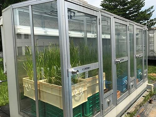 人工的に「記録的な猛暑」を再現できる特殊な温室で新品種候補の稲を栽培し、品質劣化が起きない品種を選りすぐった