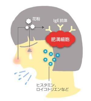 花粉に対するIgE抗体ができると花粉症の原因に