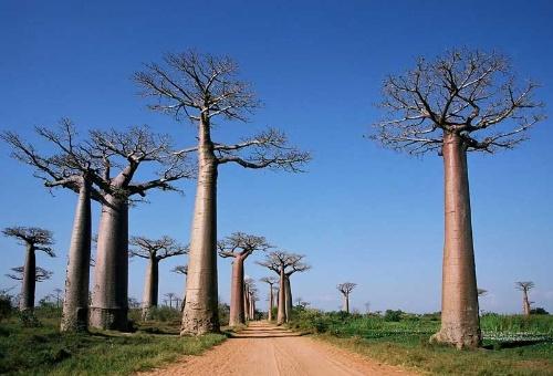 マダガスカルにほとんどの原種が分布しているというバオバブ。現地では精霊が宿る木とされている