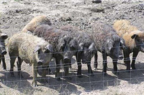 マンガリッツァ豚は国立公園で放し飼いにされているという。餌も制限していないので、豚が食べたものによって肉の味が違うそうだ(写真提供=ハンガリー政府観光局)