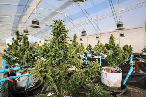 タイ国立のアバイブーベ病院で栽培されている医療用大麻