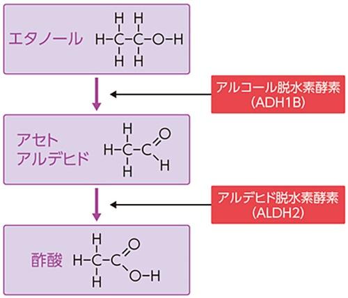 体内に入ったアルコールは、アルコール脱水素酵素によってアセトアルデヒドに分解される。その後、「アルデヒド脱水素酵素」により、無毒な酢酸になる。