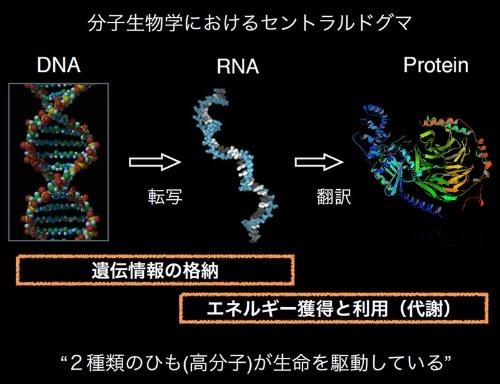 DNAやRNAは核酸の紐、タンパク質(Protein)はアミノ酸の紐だ。(画像提供:藤島皓介)