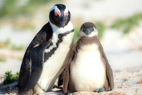 タカ派、ハト派でなくペンギン派?(写真:アフロ)