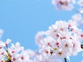 世界が「桜は中国の花」と思う日は来るか