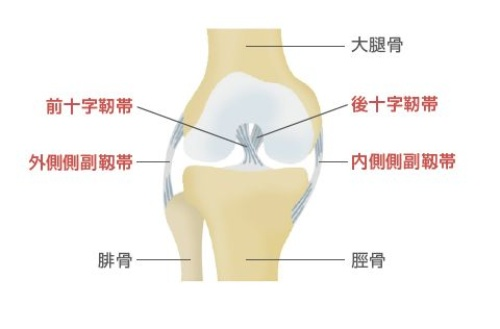 中高年が痛めやすいひざの靱帯