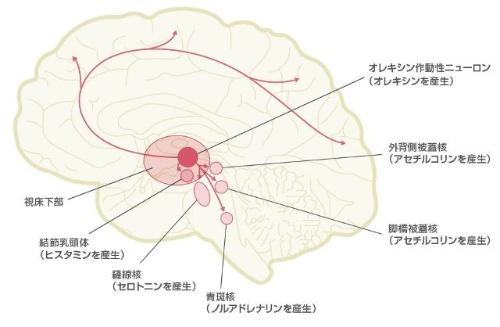 脳の視床下部の後ろ側で覚醒物質が作られる